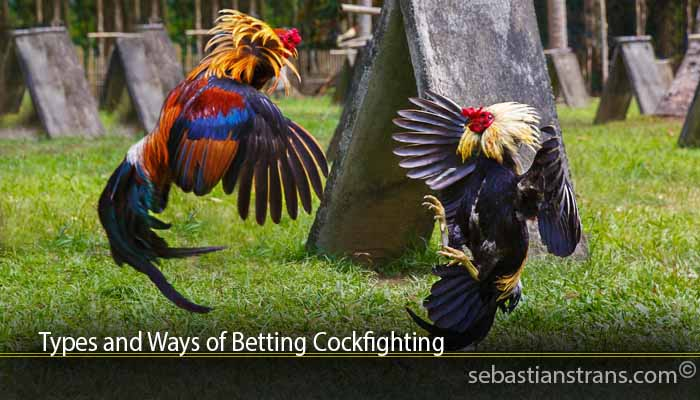 Types and Ways of Betting Cockfighting